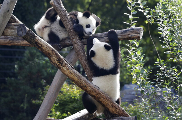 The Panda bear cubs Meng Xiang (nickname Piet), right, and Meng Yuan (nickname Paule), left, are climb in their enclosure during their first birthday in Berlin, Germany, Monday, Aug. 31, 2020. (AP Photo/Michael Sohn)