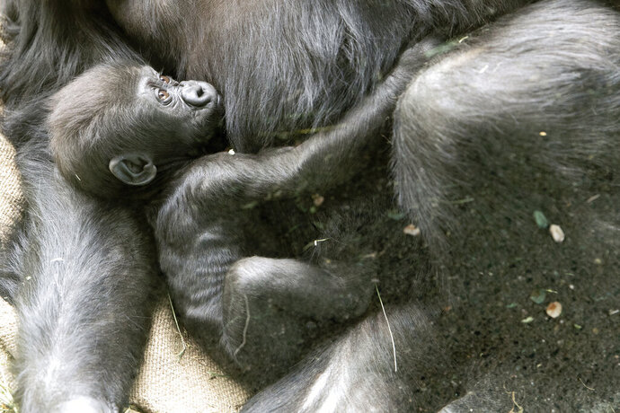 In this Friday, May, 22, 2020 photo released by the Woodland Park Zoo shows a 2 1/2-month-old male gorilla, Kitoko, with mom Uzumm. Kitoko was injured Saturday, during a skirmish among his six-member family group in Seattle. Animal health experts say little Kitoko was bitten on the head, likely by accident when another gorilla tried to bite his mother, Uzumma. Kitoko sustained a fractured skull and a severe laceration, but zoo officials say the 2 1/2-month-old gorilla underwent surgery and may survive if he doesn't develop an infection. (Jeremy Dwyer-Lindgren/Woodland Park Zoo via AP)