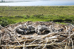 Three osprey chicks rest in their nest located at Warm Springs just off Interstate 90, at the headwaters of the Clark Fork River near Warm Springs Ponds, Mont., Thursday, July 8, 2021. Erick Greene, a professor in wildlife biology at the University of Montana and the leader of the Montana Osprey Project, says the nest is the upper most nest in the Clark Fork watershed and the blood and feather samples collected from the chicks helps researchers understand the aquatic health of the region. (Meagan Thompson/The Montana Standard via AP)