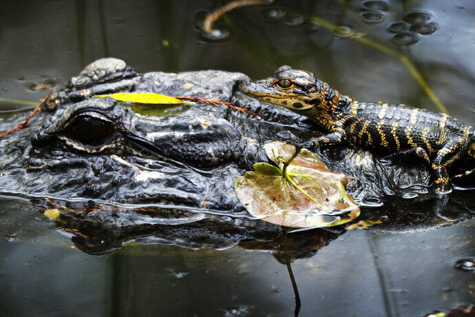 In this Sunday, Oct. 20, 2019 photo, a baby alligator rests atop an adult in a swamp at the Big Cypress National Preserve in Florida. (AP Photo/Robert F. Bukaty)