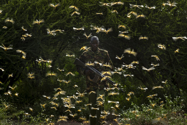 In this photo taken Saturday, Feb. 1, 2020, ranger Gabriel Lesoipa is surrounded by desert locusts as he and a ground team relay the coordinates of the swarm to a plane spraying pesticides, in Nasuulu Conservancy, northern Kenya. As locusts by the billions descend on parts of Kenya in the worst outbreak in 70 years, small planes are flying low over affected areas to spray pesticides in what experts call the only effective control. (AP Photo/Ben Curtis)
