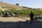 In this Wednesday, Nov. 6, 2019 photo, partner Bret Munselle of Munselle Vineyards stands with his dogs and looks out at the hillside where he lost about half of the young vines he had planted before a fire raged through the upper part of his ranch in Geyserville, Calif. It could have been much worse if mature vineyards were more appealing to fire. Water-rich vines and grapes planted in plowed rows don't offer them much fuel, he said.
