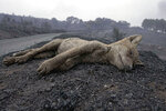 A dead fox lies on the side of a road following forest fires that have been ravaging the area around in Cugliari, near Oristano, on the island of Sardinia, Italy, Monday, July 26, 2021. Fires raged Sunday on Italy's Mediterranean island of Sardinia, where nearly 400 people were evacuated overnight. (Alessandro Tocco/LaPresse via AP)
