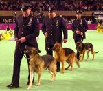 FILE - New York City search and rescue dog Appollo with handler Peter Davis, left, takes part in a ceremony at the 126th Annual Westminster Kennel Club Dog Show in Madison Square Garden, honoring the dogs that worked at the World Trade Center and Pentagon terrorists attacks on Sept. 11, 2001, in this Monday, Feb. 11, 2002, file photo. Most years, a dog like Appollo would've never made it onto the green carpet at the Garden. But the show in 2002 was no ordinary show. (AP Photo/Ron Frehm, File)