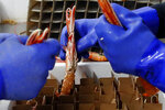 In this picture taken Tuesday, Sept 3, 2019, netted in Scottish waters, langoustines are delicately packed by hand into boxes, each upright in its own individual compartment, in Eyemouth, south coast of Edinburgh, Scotland. In their drive to uncouple Britain from the European Union, pro-Brexit campaigners have turned fishing into one of their battlegrounds. But while some seafood industry workers want out of the EU, others are alarmed at the prospect of losing frictionless access to EU consumers. (AP Photo/Francois Mori)