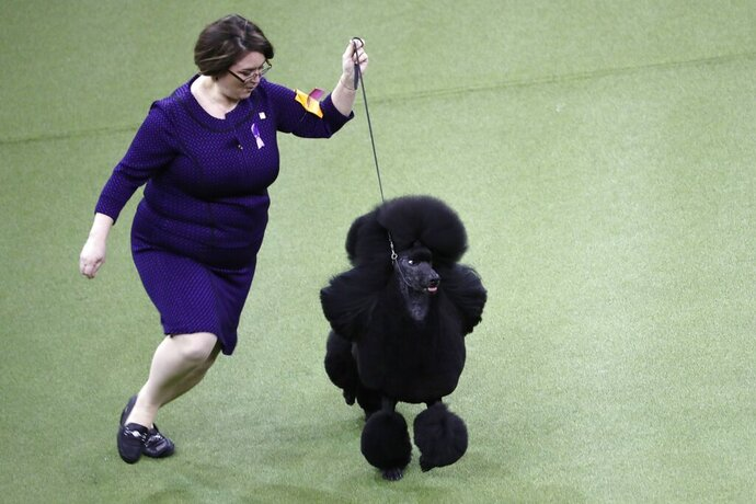 Siba, the standard poodle wins Best in Show at the 144th Westminster Kennel Club Dog Show Tuesday, Feb. 11, 2020, in New York. (AP Photo/Wong Maye-E)