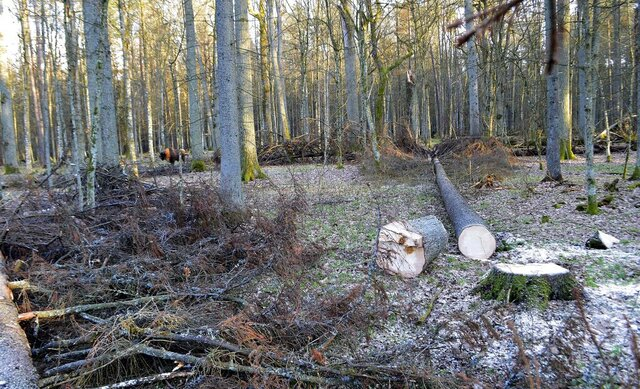 FILE - In this March 24, 2017 file photo, a bison stands among fir trees that have been logged, in the Bialowieza Forest, Poland. Employees of a natural reserve in eastern Poland were searching for a male bison Monday after it injured a vacationer. Local police in Bialowieza said that a 61-year-old man was hospitalized with injuries after he was attacked by the bison while taking a walk in the Bialowieza Forest. (AP Photo/Adam Bohdan, File)