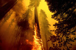 FILE - In this Sept. 19, 2021, file photo flames lick up a tree as the Windy Fire burns in the Trail of 100 Giants grove in Sequoia National Forest, Calif. California Gov. Gavin Newsom on Thursday, Sept. 23, 2021, approved nearly $1 billion in new spending to prevent wildfires, signaling a policy shift in a state that historically focused more on putting out fires than stopping them before they start. (AP Photo/Noah Berger, File)