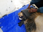 In this photo taken on Wednesday, March 13, 2019, a darted captured lion is seen in a police cell at the Sutherland, South Africa. The lion had escaped from the Karoo National Park near Beaufort West, some 320km away, a month ago after he reportedly managed to crawl underneath the park's electric fence. The lion was recaptured when four sheep and two goats were killed on a farm in the vicinity. (AP Photo)