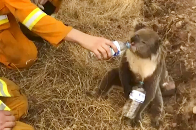 In this image made from video taken on Dec. 22, 2019, and provided by Oakbank Balhannah CFS, a koala drinks water from a bottle given by a firefighter in Cudlee Creek, South Australia. Around 200 wildfires were burning in four states, with New South Wales accounting for more than half of them, including 60 fires not contained. (Oakbank Balhannah CFS via AP)