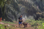 A man carry palm fruits at a palm oil plantation blanketed by haze from wildfires in Pekanbaru, Riau province, Indonesia, Saturday, Sept. 14, 2019. Nearly every year, Indonesian forest fires spread health-damaging haze across the country and into neighboring Malaysia and Singapore. The fires are often started by smallholders and plantation owners to clear land for planting.(AP Photo)