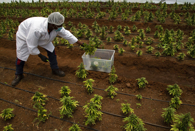 In this photo taken Thursday, Dec. 12, 2019 cannabis plants are harvested in a hothouse at Hennops, near Johannesburg, South Africa. Now that South Africa's courts have relaxed laws against marijuana, the country's cannabis production is poised to become a multi-bullion dollar business. (AP Photo/Denis Farrell)