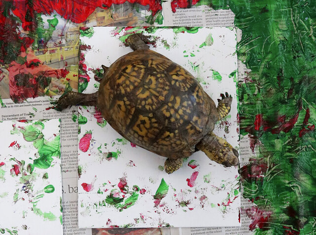 In this Wednesday, Jan. 22, 2020 photo, Pandora, a box turtle animal ambassador at the Akron Zoo, walks across paint and paper as part of an animal enrichment program at the Akron Zoo in Akron, Ohio. The paintings created by ambassador animals such as Pandora are sold at the zoo's gift shop and painting by animals on exhibit are sold at auctions to raise money for the zoo. (Karen Schiely/Akron Beacon Journal via AP)