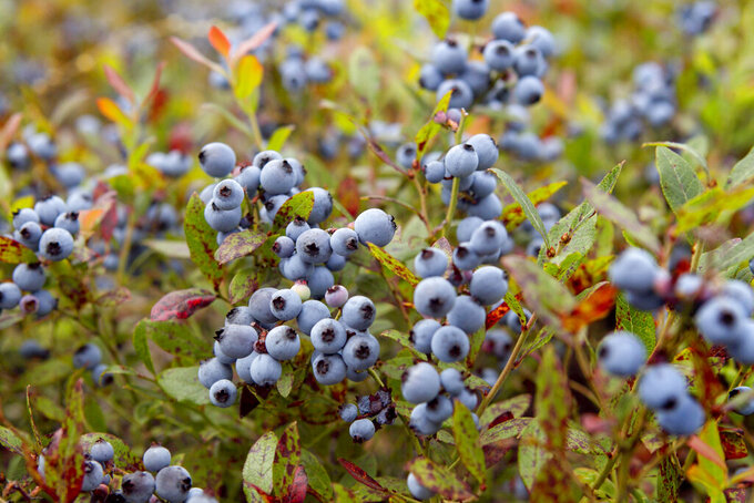 In this July 27, 2012, file photo, wild blueberries await harvesting in Warren, Maine. The wild blueberry fields of Maine appear to be warming faster in 2021 than the state at large. That could put one of the state's most beloved crops at risk. (AP Photo/Robert F. Bukaty, File)