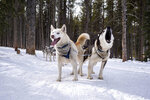 The sled dogs of Good Times Adventures in Breckenridge, Colo. vocalize on Thursday, Jan. 16, 2020, (Liz Copan/Summit Daily News via AP)