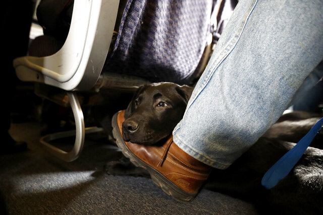 FILE- In this April 1, 2017, file photo, a service dog named Orlando rests on the foot of its trainer, John Reddan, of Warwick, N.Y., while sitting inside a United Airlines plane at Newark Liberty International Airport during a training exercise in Newark, N.J. American Airlines is banning emotional-support animals in a move that will force most owners to pay extra if they want their pets to travel with them. The airline said Tuesday, Jan. 5, 2021, that it will allow animals in the cabin free of charge only if they are trained service dogs. The change takes effect Monday, although passengers who already bought tickets can fly with a companion animal until Feb. 1. (AP Photo/Julio Cortez, File)