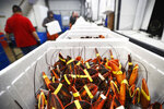 In this Tuesday, Sept. 11, 2018 photo, live lobsters are packed in coolers for shipment to China at The Lobster Company in Arundel, Maine. The company says it has resorted to layoffs due to shrinking business. (AP Photo/Robert F. Bukaty)