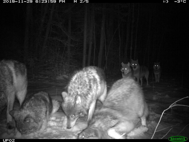 In this November 2019 photo provided by the Voyageurs Wolf Project, the Shoepack Lake Pack of wolves stops in front of a remote camera set on a trail in Voyageurs National Park, Minn. Scientists studying gray wolves in the park have traced how wolves preying on beavers affect the ecosystem by impeding the ability of beavers to build and maintain new dams that create wetlands. (Tom Gable/Voyageurs Wolf Project via AP)