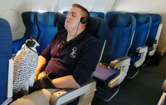In a photo taken in 2004, then Air Force Academy cadet Tyler Young and falcon Aurora, one of the academy's official mascots, rest aboard an airplane in Air Force Academy, Colo., before flying to Chicago for a college fair. Aurora, injured at West Point during an apparent prank before the annual rivalry game between the two service academies Saturday, Nov. 3, 2018, is back home and showing signs of improvement. (Jerilee Bennett/The Gazette via AP)