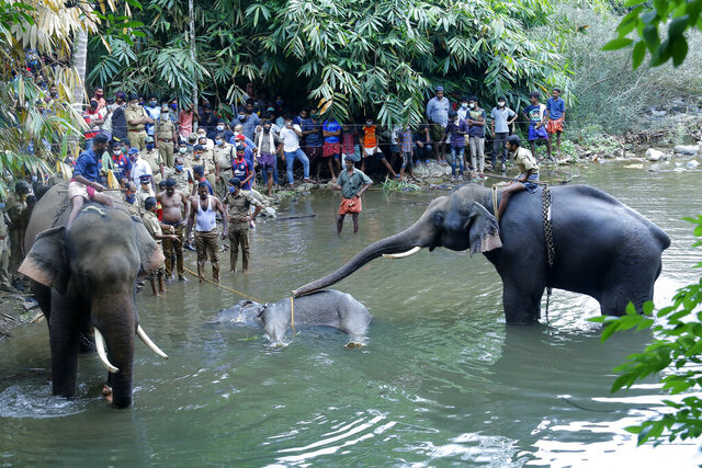 This May 27, 2020 photo show elephants pulling a 15-year-old pregnant wild elephant who died after suffering injuries, in Velliyar River, Palakkad district of Kerala state, India.  Indian police on Friday arrested one person for causing the death of the elephant which chewed a pineapple stuffed with firecrackers that went off in its mouth in southern India. The female elephant couldn't eat because of the injury in its mouth and it died in a river later in a forest in Pallakad area in southern Kerala state on May 27, said a state forest officer, Surendra Kumar. (AP Photo/Rajesh U Krishna)