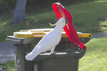 In this 2019 photo provided by researcher Barbara Klump, a sulphur-crested cockatoo opens the lid of a trash can in Sydney, Australia. At the beginning of 2018, researchers received reports from a survey of residents that birds in three Sydney suburbs had mastered the novel foraging technique. By the end of 2019, birds were lifting bins in 44 suburbs. (Barbara Klump/Max Planck Institute of Animal Behavior)