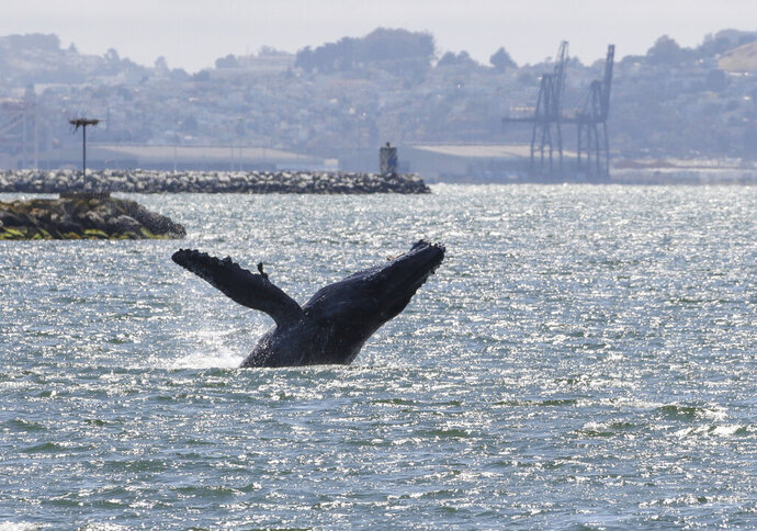 This June 2, 2019, photo provided by the Marine Mammal Center shows a humpback whale in Alameda, Calif. The humpback whale has become an unusual presence in San Francisco Bay. The San Francisco Chronicle reported Friday, June 14, that the humpback has remained in the waters near Alameda for more than two weeks. The Marine Mammal Center asks the public not to approach the whale. (Bill Keener/Marine Mammal Center via AP)