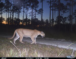 This 2017 photo from a U.S. Fish and Wildlife Service motion-activated camera shows a Florida panther at Florida Panther National Wildlife Refuge. Motion-detecting wildlife cameras are yielding serious science as well as amusing photos. (U.S. Fish and Wildlife Service via AP)