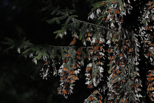 FILE - In this Jan. 31, 2020 file photo, monarch butterflies cling to branches in their winter nesting grounds in El Rosario Sanctuary, near Ocampo, Michoacan state, Mexico. The number of monarch butterflies that showed up at their winter resting grounds decreased about 53% this year, Mexican officials said Friday, March 13. (AP Photo/Rebecca Blackwell, File)