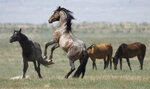 In this Wednesday, July 18, 2018, photo, a wild horse jumps among others near Salt Lake City. Harsh drought conditions in parts of the American West are pushing wild horses to the brink and forcing extreme measures to protect them. Federal land managers have begun emergency roundups in the deserts of western Utah and central Nevada. (AP Photo/Rick Bowmer)