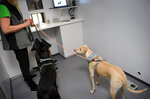 Sniffer dogs Miina, left, and K'ssi at the Helsinki airport in Vantaa, Finland, Wednesday Sept. 22, 2020. Finland has deployed coronavirus-sniffing dogs at the Nordic country's main international airport in a four-month trial of an alternative testing method that could become a cost-friendly way to identify infected travelers. (Antti Aimo-Koivisto/Lehtikuva via AP)