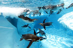 Penguins swim in a pool in Belgrade Zoo, Serbia, Tuesday, July 2, 2019. Authorities have warned of extremely hot temperatures in Serbia and the rest of the Balkans as a heat wave that has hit western Europe moves toward east of the continent. (AP Photo/Darko Vojinovic)