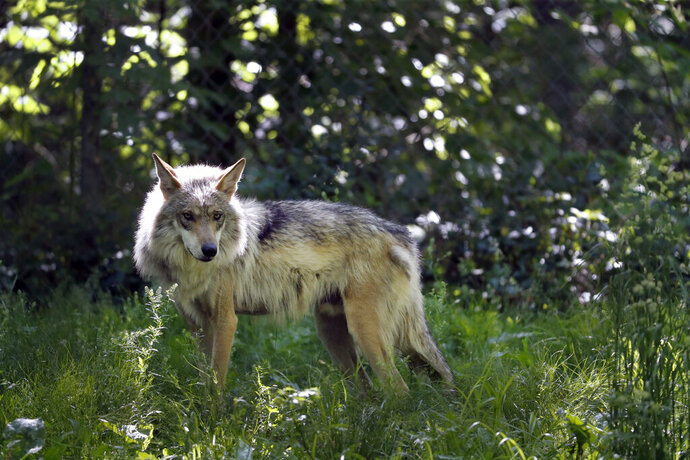 FILE - A Mexican gray wolf is seen at the Endangered Wolf Center Monday, May 20, 2019, in Eureka, Mo. Mexican gray wolves have been blamed for killing nearly as many cows and calves in the first four months of 2019 as they did all of last year.  Federal wildlife managers have documented 88 livestock kills from January through April in New Mexico and Arizona. Nearly 100 were reported for all of 2018. (AP Photo/Jeff Roberson)
