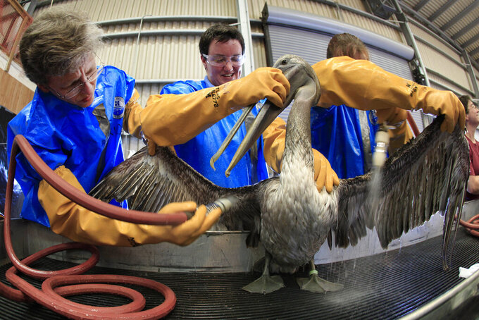 """FILE - In this Saturday, May 15, 2010 file photo, veterirnian Erica Miller, Heather Nevill, and Danene Birtell clean a brown pelican at the Fort Jackson Wildlife Rehabilitation Center at Buras, La. A stretch of land in the western portion of Calcasieu Lake known as Rabbit Island has been shrinking for decades, the tide washing away more than land each year. The marsh """"island"""" in Cameron Parish is the only brown pelican rookery in southwest Louisiana. Once 200 acres of land, it is down to just 30 acres and continues to lose nearly half of the brown pelican eggs laid each year to the tide. (AP Photo/Charlie Riedel)"""