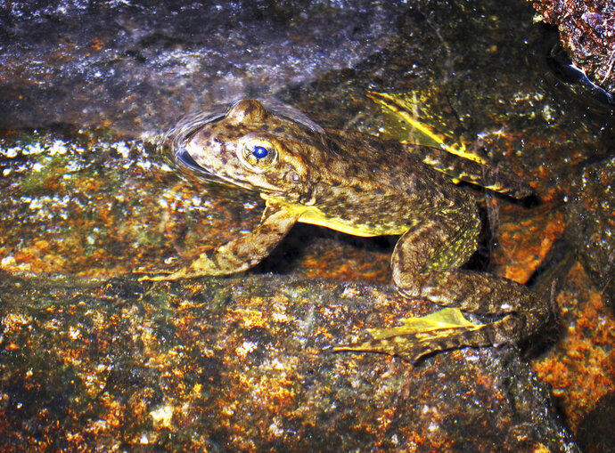 FILE - This Aug. 10, 2013 file photo shows a rare mountain yellow-legged frog in an alpine lake in Kings Canyon National Park, in California's Sierra Nevada. The California Fish and Game Commission on Wednesday, Dec. 11, 2019, approved California Endangered Species Act protections for five of six populations of a related species, the foothill yellow-legged frog, that has disappeared from more than 50% of its historic habitat in the state. (AP Photo/Brian Melley, File)