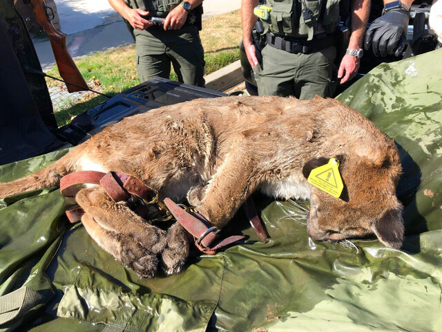 This Saturday, Feb. 8, 2020, photo provided by the California Department of Fish and Wildlife shows a tranquilized mountain lion in Simi Valley, Calif. The mountain lion that eluded capture after being spotted in a backyard was eventually removed from the area Saturday, California police and wildlife officials said. (California Department of Fish and Wildlife via AP)