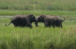 FILE - In this June 7, 2017, file photo, two wild elephants, part of a herd that arrived at a wetland near the Thakurkuchi railway station engage in a tussle on the outskirts of Gauhati, Assam, India. Development that's led to loss of habitat, climate change, overfishing, pollution and invasive species is causing a biodiversity crisis, scientists say in a new United Nations science report released Monday, May 6, 2019. (AP Photo/ Anupam Nath, File)