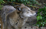 A red wolf roams its habitat at the Museum of Life and Science in Durham, N.C., on Monday, May 13, 2019. Wolf recovery is hindered by political opposition over attacks on livestock or game animals and longstanding arguments over whether the wolves should be treated as distinct species warranting continued protection. (AP Photo/Gerry Broome)