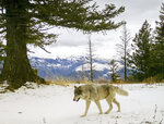 In this Dec. 4, 2014 photo released by the Oregon Department of Fish and Wildlife, a wolf from the Snake River Pack passes by a remote camera in eastern Wallowa County, Ore. A proposal to strip gray wolves of their remaining federal protections could clip the predators' rapid expansion across vast swaths of the U.S. West and Great Lakes. (Oregon Department of Fish and Wildlife via AP)