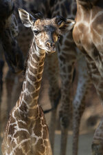 In this Oct. 16, 2019 photo provided by The Los Angeles Zoo, a baby giraffe mingles with the rest of the herd in her enclosure at the zoo. The zoo announced this week that a the female Masai giraffe was born on Oct. 5, the fifth baby for the mother, Hasina and the sixth for the father, Phillip. (Jamie Pham/The Los Angeles Zoo via AP)