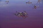 Knarled dead bushes stick out of Corfo lagoon, that has turned a striking shade of pink as a result of what local environmentalists are attributing to increased pollution from a nearby industrial park, in Trelew, Chubut province, Argentina, Thursday July 29, 2021. (AP Photo/Daniel Feldman)