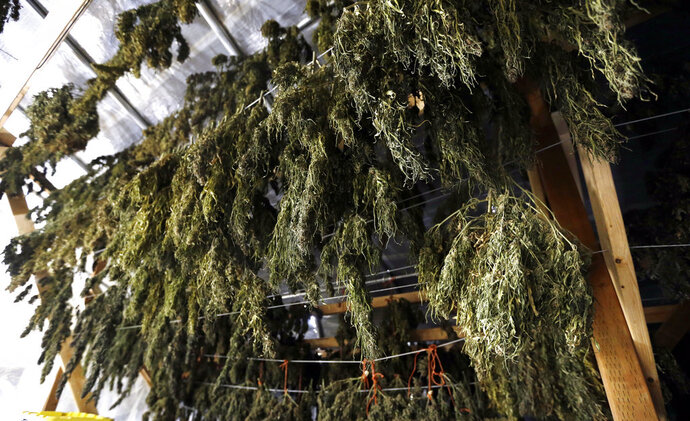 FILE - In this April 23, 2018 file photo, marijuana grown in Oregon hangs to dry in barn rafters. The Jackson County Sheriff's Office in Oregon will use state grant money to go after black market marijuana producers and legal growers who harvest more than their license allows. (AP Photo/Don Ryan, File)
