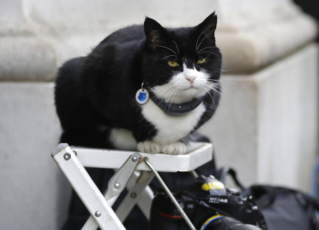 FILE - In this file photo dated Tuesday, Feb. 12, 2019, Palmerston, the Foreign Office cat sits on a photographer's ladder at Downing Street in London.  It is announced Friday Aug. 7, 2020, that Palmerston is retiring from his hectic city job, and will retire to the countryside after four long, hard years on the job. (AP Photo/Kirsty Wigglesworth)