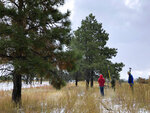 In this Thursday, Oct. 24, 2019, photo a group of conservationists scouts for ponderosa pine cones at Bandelier National Monument near Los Alamos, N.M. A cone collecting effort is underway in parts of New Mexico and Colorado as conservationists and land managers work to gather seeds to restore forested landscapes following wildfire. (AP Photo/Susan Montoya Bryan)