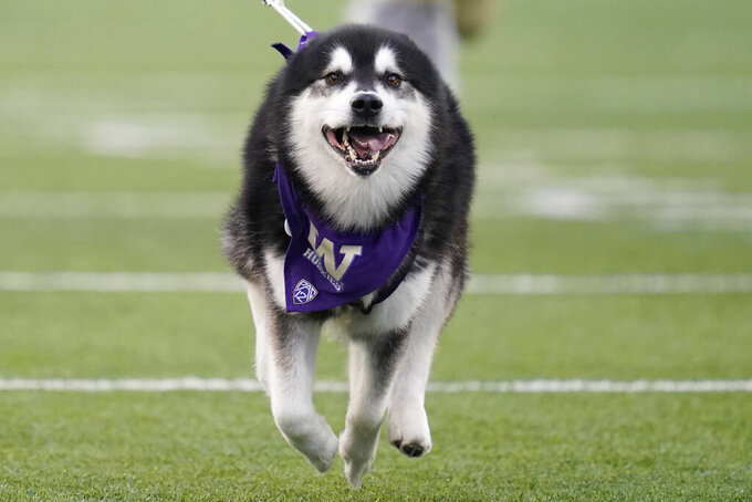 Dubs II, the Washington Huskies live mascot, leads the team out of the tunnel before an NCAA college football game against California, Saturday, Sept. 25, 2021, in Seattle. (AP Photo/Elaine Thompson)