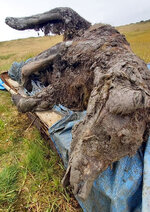 In this undated photo released by North-Eastern Federal University, a carcass of an Ice Age cave bear found on Bolshoy Lyakhovsky Island, or Great Lyakhovsky, the largest of the Lyakhovsky Islands belonging to the New Siberian Islands archipelago between the Laptev Sea and the East Siberian Sea in northern Russia. Reindeer herders in a Russian Arctic archipelago have found an immaculately preserved carcass of an Ice Age cave bear revealed by the melting permafrost, which has all its internal organs, teeth and even its nose intact. (North-Eastern Federal University via AP)