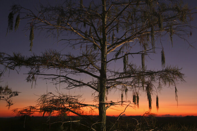 In this Monday, Oct. 21, 2019 photo a cypress tree is seen at dawn in Everglades National Park. (AP Photo/Robert F. Bukaty)