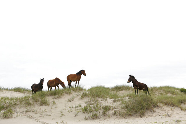 In this June 11, 2019, photo, three wild horses come to face with Raymond, right, the only mule in the herd, on a sand dune at mile marker 16 on Swan Beach in Corolla, N.C. Raymond, who lived with the wild horses until he retired last year to the farm, has Spanish mustang ancestry from his mother, said Meg Puckett, manager of the Corolla wild horse herd. The Corolla Wild Horse Fund is taking DNA samples from about 100 horses roaming the Currituck beaches and a farm in Grandy, where many horses retire. (Sarah Holm/The Virginian-Pilot via AP)