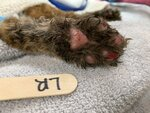 This Oct. 30, 2020 photo provided by the San Diego Humane Society shows the paw of a young bobcat that had been severely burnt from a wildfire at the San Diego Humane Society's Ramona Wildlife Center in Ramona, Calif. The young bobcat that was badly burned in a Southern California wildfire has been returned to its native habitat and will be released back into the wild. The San Diego Humane Society says the 7- to 9-month-old female was picked up on Tuesday, Dec. 1, 2020 from Ramona Wildlife Center and taken to an area near the site of the El Dorado Fire that has abundant food and water sources. (San Diego Humane Society via AP)