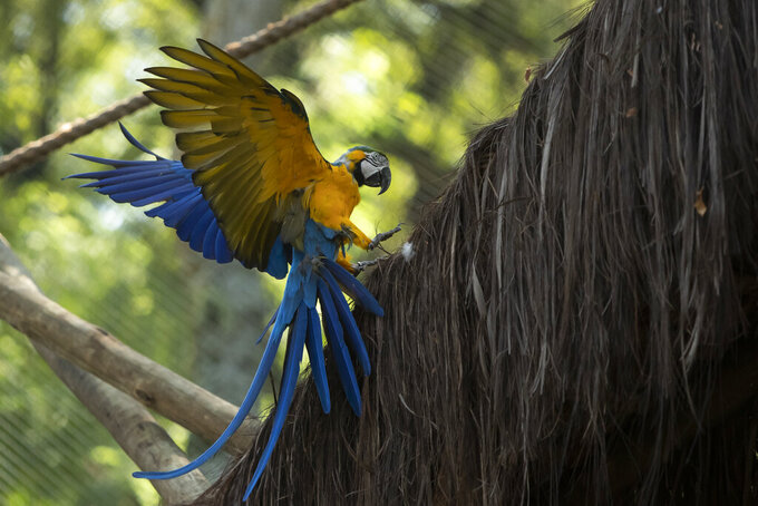 A macaw flies inside an enclosure at BioParque, in Rio de Janeiro, Brazil, Wednesday, May 5, 2021. Macaws are used to flying great distances, more than 30 kilometers or about 18 miles a day.  (AP Photo/Bruna Prado)