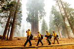Firefighters battle the Windy Fire as it burns in the Trail of 100 Giants grove of Sequoia National Forest, Calif., on Sunday, Sept. 19, 2021.  (AP Photo/Noah Berger)